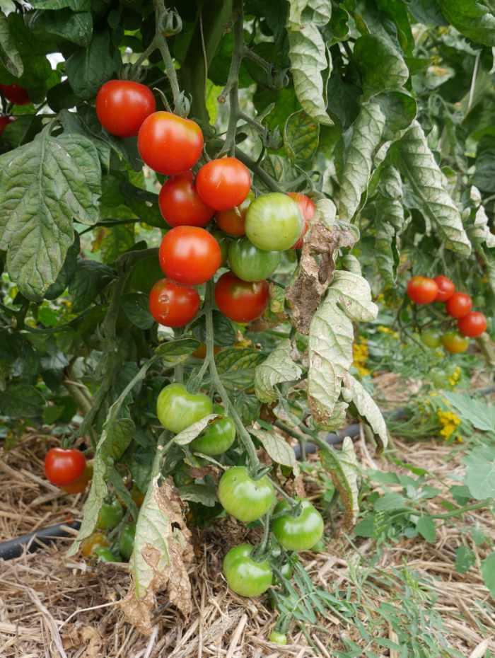 grüne und rote Tomaten an der Pflanze