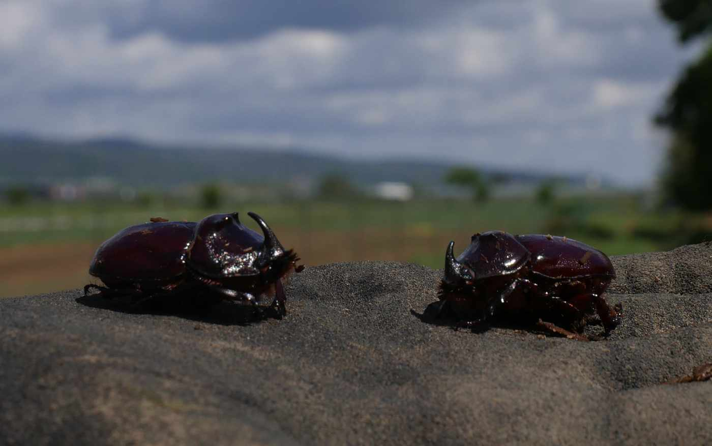 Zwei Nashornkäfer