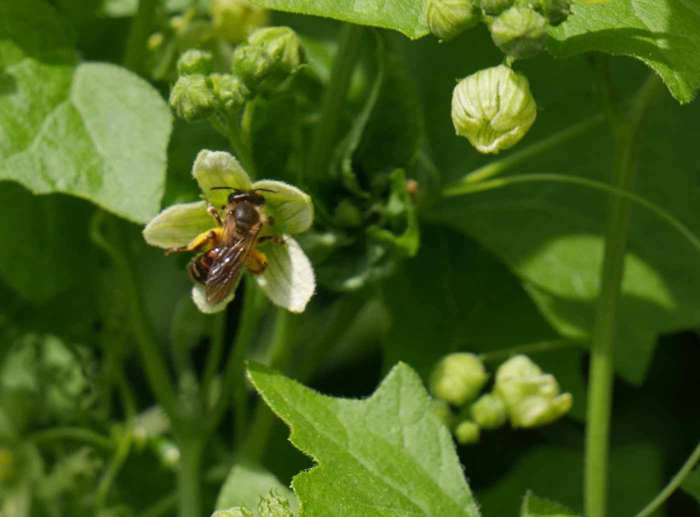 Sanbiene auf Blüte